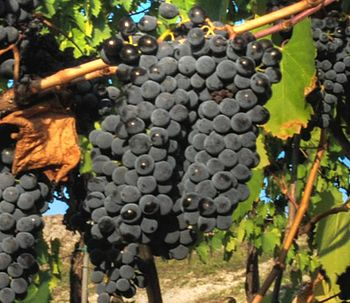 Cropped version of Sangiovese grapes on the vine
