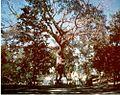 Santiago Surrender Tree.jpg