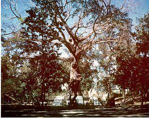 Santiago Surrender Tree - Santiago Surrender Tree