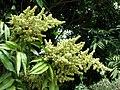 Sapindus saponaria var. saponaria (4831881655).jpg