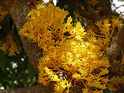 Saraca thaipingensis.jpg