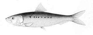 Southern bluefin tuna - Sardinops sagax