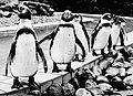 Sascha Grosser - penguine - hq1 sw666.jpg