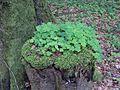 Sauerklee auf Baumstumpf.JPG