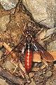 Sawfly - Tenthredo species, Green Ridge State Forest, Flintstone, Maryland.jpg