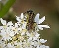 Sawfly Tenthredo species (39814181191).jpg