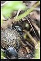 Scarabaeoidea (8738472882).jpg