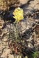 Schiermonnikoog - Vlasbekje (Linaria vulgaris) v2.jpg