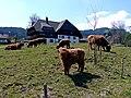Schottische Hochlandrinder^ auf dem Herchenhof - panoramio.jpg