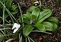 Scilla lilio-hyacinthus - Flickr - peganum.jpg