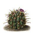 Sclerocactus uncinatus ssp crassihamatus BlKakteen Tafel 8.jpg