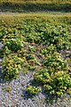 Scots Lovage (Ligusticum scoticum) - Port au Choix, Newfoundland 2019-08-19 (02).jpg