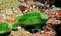 Sea Squirt (Didemnum molle) (6059268666).jpg