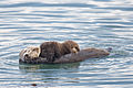 Sea otter nursing young.jpg