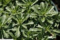 Sedum floriferum Weihenstephaner Gold 2zz.jpg