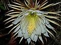 Selenicereus pteranthus.jpg