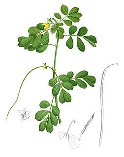 <i>Senna tora</i> Species of flowering plant
