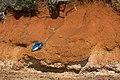 Shark stranded on Red Cliffs-06+ (2515537742).jpg