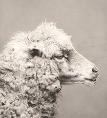 Sheep, ca 1870.jpg