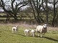 Sheep at Beckbank - geograph.org.uk - 153658.jpg