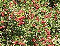 Shiny haws in Bulley Lane - geograph.org.uk - 536687.jpg
