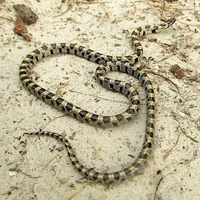 Description de l'image Short-Tailed Snake Central Florida.jpg.