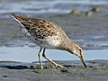 Short-billed Dowitcher RWD4.jpg