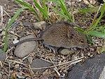 myšivka horská