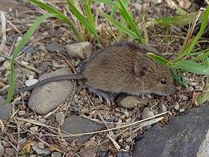 Birch mouse - Sicista betulina