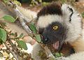 Sifaka Lemur in Berenty (2268981243).jpg