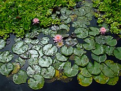 Water lilies, aquatic plants in the family Nymphaeaceae. Picture taken in Verona, Italy