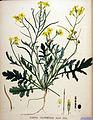 Sinapis cheiranthus — Flora Batava — Volume v20.jpg