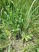 Sium latifolium sl2.jpg