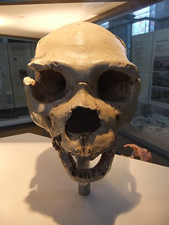 Homo heidelbergensis - Cranium 5 (skull with jawbone) from Sima de los Huesos (cast at Natural History Museum, London)