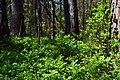 Skulyn Kovelskyi Volynska-Voloha sudibrova nature monument-Vaccinium myrtillus in May.jpg