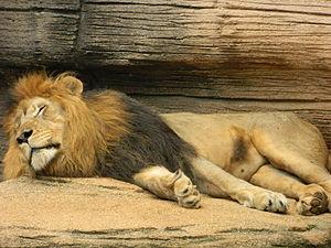 Riverbanks Zoo - A male lion at Riverbanks