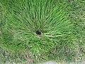 Slehnutá tráva kolem postřiku.JPG