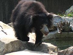 Sloth bear 1.jpg