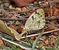 Small Orange-Tip , Colotis etrida at Chilkur near Hyderabad, AP W IMG 7299.jpg