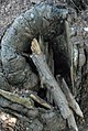 Small geocache in a stump, hidden.jpg