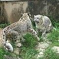 Snow leopards fighting.jpg