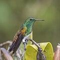 Snowy-bellied hummingbird (Amazilia edward niveoventer) 1.jpg