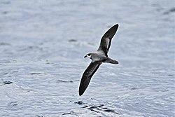 Soft-plumaged Petrel-Albany WA-28-07-2012.jpg