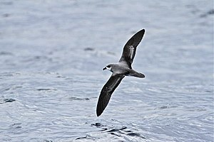 Soft-plumaged petrel - Dorsal plumage. Photographed on pelagic waters near Albany, Western Australia.