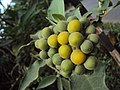 Solanum mauritianum - Wild tobacco tree - at Ooty 2014 (1).jpg