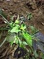 Solanum nigrum subsp. nigrum sl44.jpg
