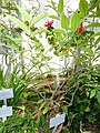 Solanum pseudocapsicum - Copenhagen Botanical Garden - DSC08032.JPG