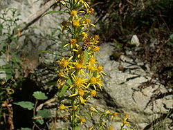 Solidago virgaurea