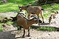 Solingen - Fauna - Pygmy goat 03 ies.jpg