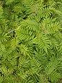 Sorbaria (Sorbaria sorbifolia) - Guelph, Ontario 2014-06-22.jpg
